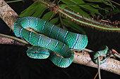 Temple Pit viper (Tropidolaemus subannulatus), Belitung, Indonesia.