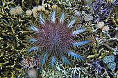 Crown-of-thorns sea star (Acanthaster planci) feeding on coral reef, Sulawesi.