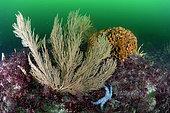 Rose coral (Pentapora fascialis) and Orange Gorgonian (Leptogorgia sarmentosa) - 20 meters deep, off the island of Oleron, Atlantic Ocean, France