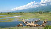 Sheep joining flooded meadows in spring, Lake Kerkini, Central Macedonia, Greece