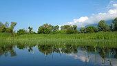 Spring reed in Lake Kerkini, Central Macedonia, Greece