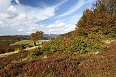 Meadow, blueberries, beech trees, view of the Hahnenbrunnen Pass, farmhouse, Crest Road, Col de Breitfirst (altitude 1280 m), Hautes Vosges, Haut Rhin, France