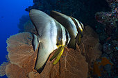 Pair of Tiera Batfish (Platax teira) met on the Boa Bank, near Choisil Islets. Mayotte