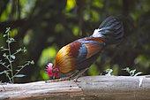 Red Junglefowl (Gallus gallus) on a trunk, Tongbiguan, Yunnan, China