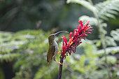 Streaked Spiderhunter (Arachnothera magna) feeding nectar on flower, Tongbiguan, Yunnan, China