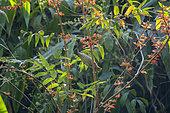 Streaked Spiderhunter (Arachnothera magna) foraging flowers, Tongbiguan, Yunnan, China