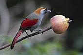 Red-tailed laughingthrush (Trochalopteron milnei) eating an apple, Gaoligongshan, Yunnan, China