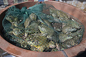North american Bullfrog (Lithobates catesbeianus) sold in the market of Dali, Yunnan, China