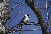 Daurian Jackdaw (Corvus dauuricus) on a branch, Shangri La, Tibet, China