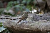 Hill Blue Flycatcher (Cyornis banyumas), Tongbiguan, Yunnan, China