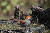 Red-tailed laughingthrush (Trochalopteron milnei) bathing, Gaoligongshan, Yunnan, China