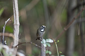 White-gorgeted flycatcher (Anthipes monileger) on a branch, Gaoligongshan, Yunnan, China
