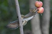 Asian red-cheeked Squirrel (Dremomys rufigenis) eating an apple, Gaoligongshan, Yunnan, China