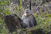 Black Snub-nosed Monkey (Rhinopithecus bieti) mimicry of a worried young, Yunnan, China