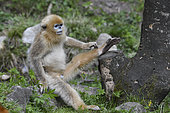 Golden snub-nosed monkey (Pygathrix roxellana) young sitting on a rock and scratching his leg, Shanxii, China