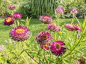 Helichrysum bracteata 'Flore Pleno Rose'