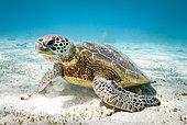 Green turtle (Chelonia mydas) feeding on algae. South lagoon. New Caledonia.