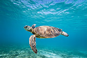 Green turtle (Chelonia mydas) swimming in the lagoon. South lagoon. New Caledonia.