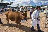 Limousine cow during a competition. Bourail agricultural fair. New Caledonia.
