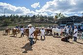 Cows at a farm show, Bourail Agricultural Fair. New Caledonia.