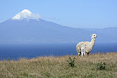 Llama (Llama Glama) and young in front of Llanquihue Lake and Osorno volcano, view of Puerto Octay, X Region of Lakes, Chile