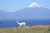 Young Llama (Llama Glama) in front of Llanquihue Lake and Osorno volcano, view of Puerto Octay, X Region of Lakes, Chile