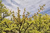Quintral (Tristerix corymbosus), Plante parasite au printemps sur Espinal ou Mimosa du Chili (Acacia caven), Mont Mauco, Quintero, V Region de Valparaiso, Chili