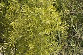 Maitén (Maytenus boaria) natif du Chili et Argentine, Réserve de l'estuaire de l'Aconcagua, La Isla, Concon, V Region de Valparaiso, Chili
