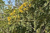 Quebracho (Senna candolleana) endémique du Chili, Floraison printanière, Réserve de l'estuaire de l'Aconcagua, La Isla, Concon, V Region de Valparaiso, Chili