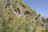 Soldadito rojo (Tropaeolum tricolor), small climbing vine endemic to Chile, in bloom, on the background of cactus Echinopsis chiloensis, Parque nacional La Campana, V Valparaiso Region, Chile