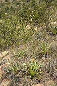 Chupalla (Eryngium paniculatum), Cerro Mauco, Quintero, V Region of Valparaiso, Chile
