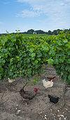 Chickens and vineyards of the property, Vincent Cuisinier de Campagne Restaurant, Ingrandes-de-Touraine, Indre-et-Loire Department, The Loire Valley, France