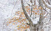 Hayedo Trasmocho, Beech forest in winter, Gorbeia Natural Park, Alava, Basque Country, Spain