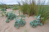 Sea Holly (Eryngium maritimum), Valdearenas beach, Dunas de Liencres Natural Park, Cantabrian Sea, Piélagos Muicipality, Cantabria, Spain