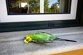 Dead parakeet after hitting a window. For birds, glass windows are worse than invisible, by reflecting foliage or sky, they look like inviting places to fly into. Sadly, the bird often dies, even when it is only temporarily stunned and manages to fly away. Many times these birds die later from internal bleeding or bruising, especially on the brain. There's one additional reason: birds sometimes see their reflection in a window and attack it. This happens most frequently in the spring when territoriality is high. Note leg band. It's probably a bird that escaped from a birdcage. Portugal