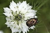 Cetonia (Potosia fieberi) on a Nigella flower of Damascena (Nigella damascena), garden, Belfort, Territoire de Belfort, France