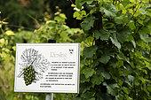 Vine Riesling grape vine, the Jardin des Vignes next to the Haute gate, Ammerschwihr, Haut Rhin, France