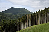 Clear-cutting in a spruce forest, Norway spruce (Picea abies) towards the Steige pass, view of the Climont, Steige, Bas Rhin, France