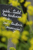 Slate, Dyers Pastel (Isatis tinctoria), flowers, Quote of an English proverb on a slate, the Herbarium, medieval garden, Remarkable Garden, Saint Valery sur Somme, Somme, France