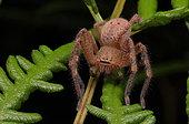 Badge huntsman spider (Neosparassus sp), Australia