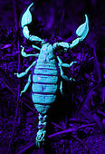 Scorpion photographed at night with a UV torch, amazing the way they glow.