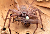 Huntsman spider found on the trunk of a paper bark tree feeding, Australia
