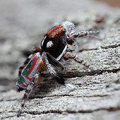 Peacock spider (Maratus volans) Male, Australia