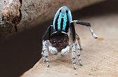 Peacock spider (Maratus neptunus) male performing for a female, NSW Australia.