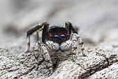 Peacock spider (Maratus neptunus) male, NSW Australia.