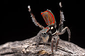 Peacock Jumping Spider (Maratus elephans) male dancing for a female spider, NSW, Australia.