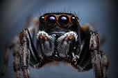 A male Peacok Jumping Spider (Maratus scutulatus) very common jumping spider in East Coast Australia.