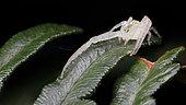 Crab spider (Thomisidae sp), Australia