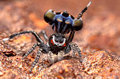 Harris' Peacok Spider (Maratus harrisi) male, NSW, Australia