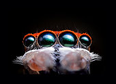 Close up of a Peacock Jumping Spider (Maratus splendens), Australia